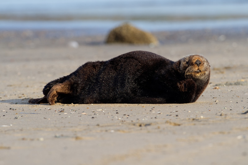 California Southern Sea Otter - Hauled-Out