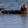 California Southern Sea Otter - hauling out of the water