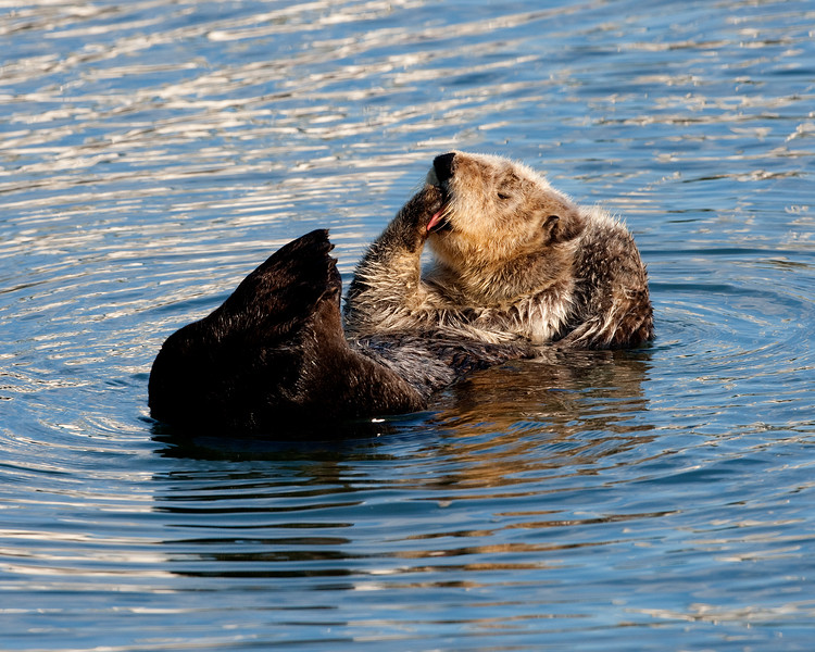 California Southern Sea Otter