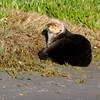 California Southern Sea Otter - hauled out onto beach embankment