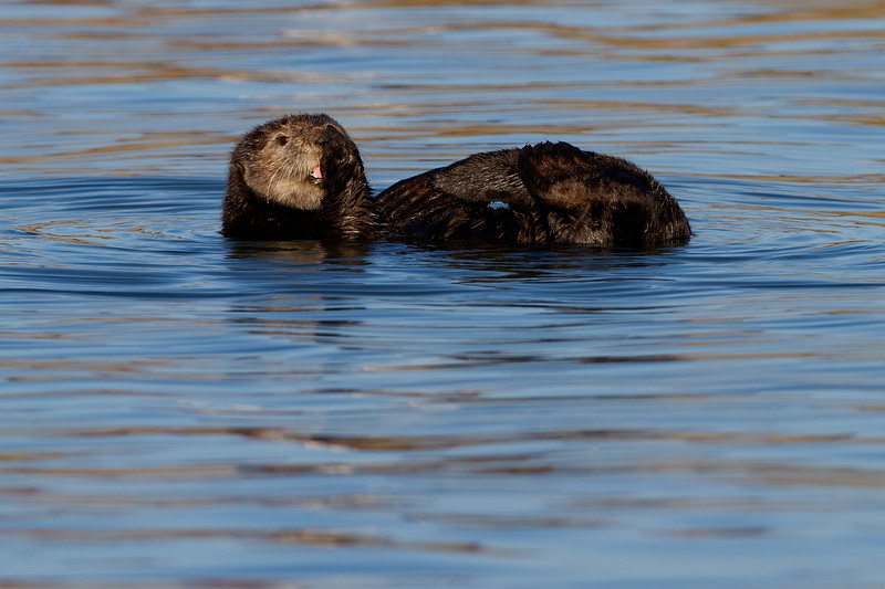 California Southern Sea Otter - Preaning
