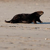 California Southern Sea Otter - Hauled-Out and Walking
