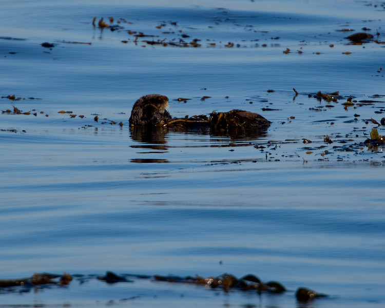 California Southern Sea Otter - wrapped in kelp to help avoid excessive drifting as the mammal sleeps
