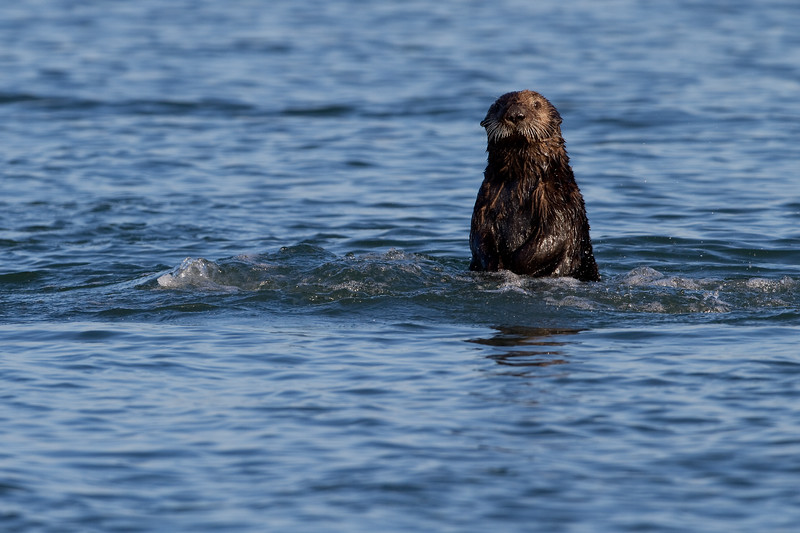 California Southern Sea Otter - Spyhopping