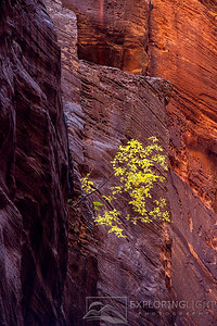 """UNSHAKABLE""Zion NPA lone cottonwood emerges from tri-colored canyon sandstone deep in the Narrows of Zion National Park.© Chris Moore - Exploring Light PhotographyPURCHASE A PRINT"
