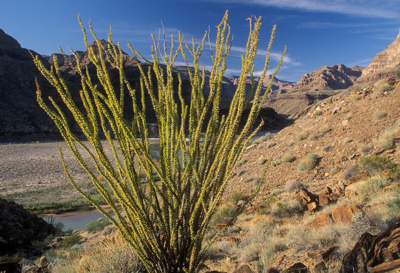 Ocotillo, Granite Park, Grand Canyon