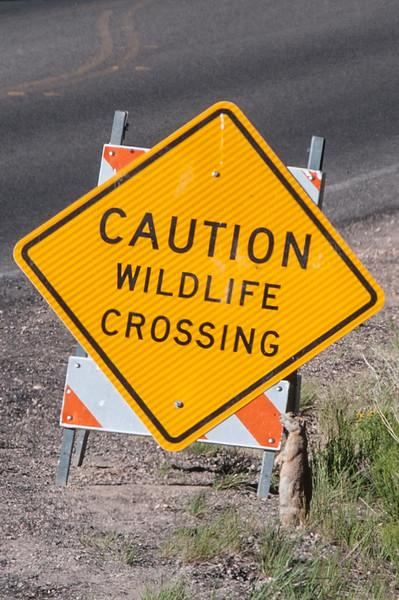Prairie Dog Crossing, Bryce Canyon National Park, Utah