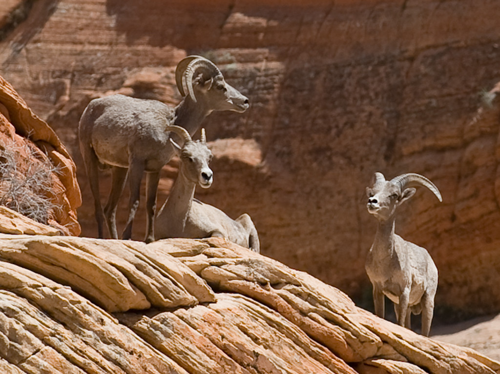 Desert Bighorn Sheep, Zion National Park, Utah