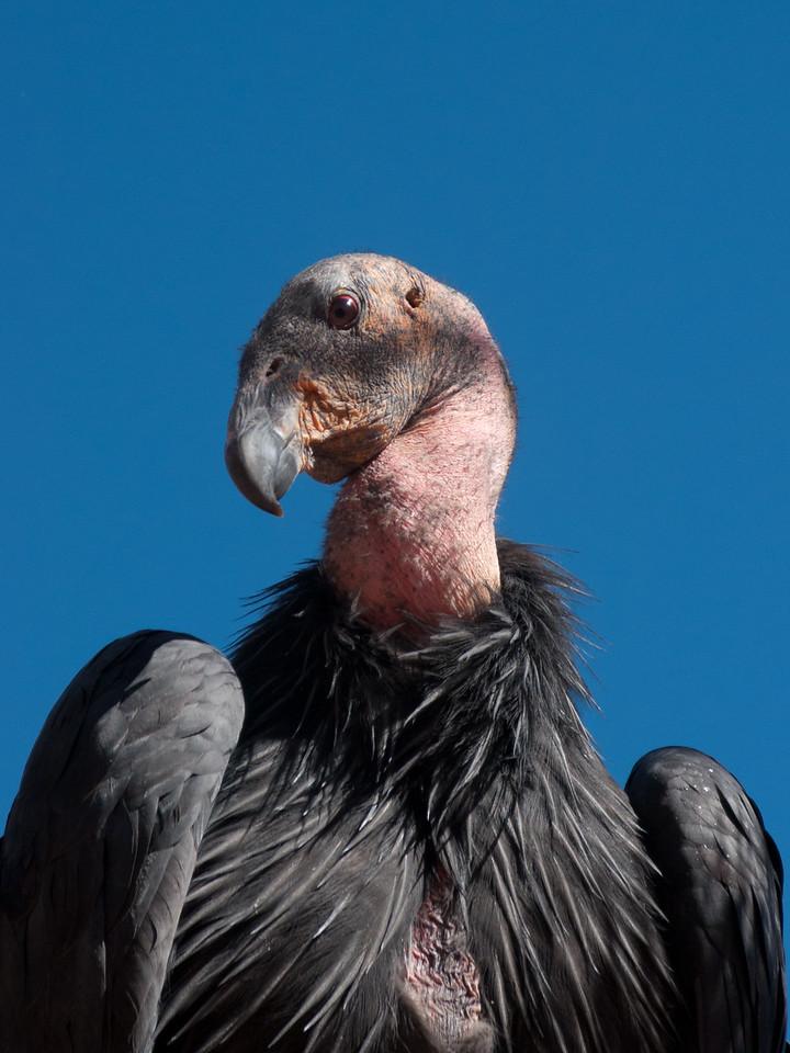 California Condor, Zion National Park, Utah