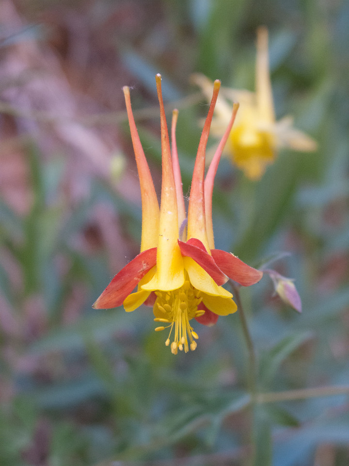 Columbine, Zion National Park, Utah