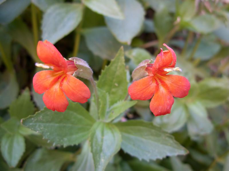 Monkey Flower, Zion National Park, Utah