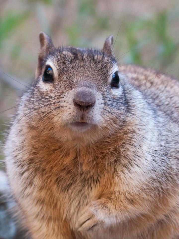 Squirrel, Zion National Park, Utah