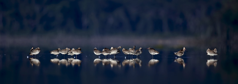 Bar-Tailed Godwit (Limosa lapponica).