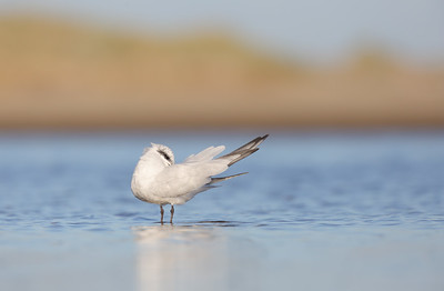 Gull-billed tern (Gelochelidon nilotica) non-breeding