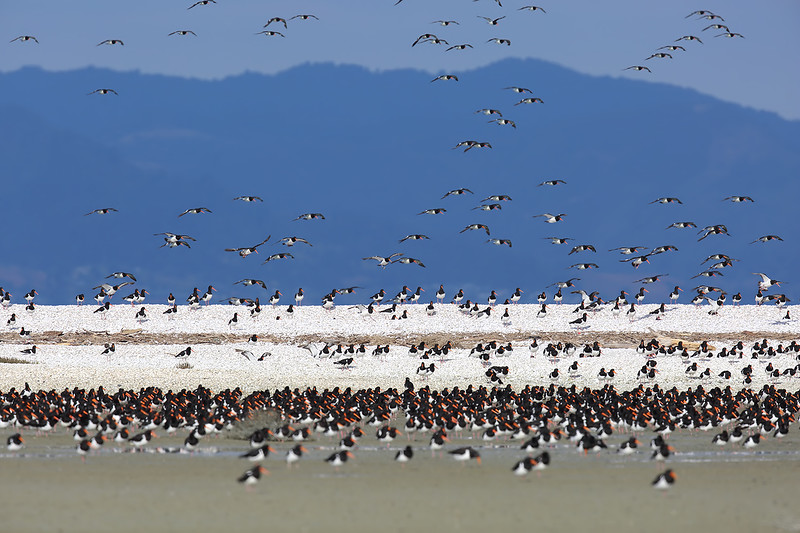 Oh just a small number of South Island Pied Oystercatchers (Haematopus finschi)