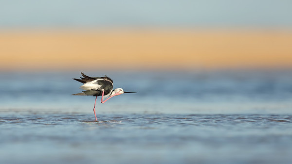 White Headed Stilt (Himantopus leucocephalus) adult
