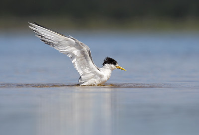 Crested Tern (Thalasseus bergii) drying off time.