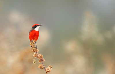 Crimson Chat (Epthianura tricolor) male