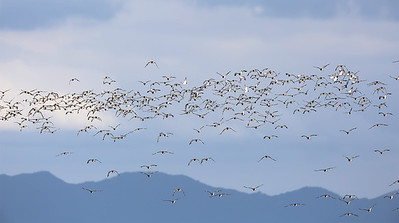 Just a few South Island Pied Oystercatchers (Haematopus finschi) flying