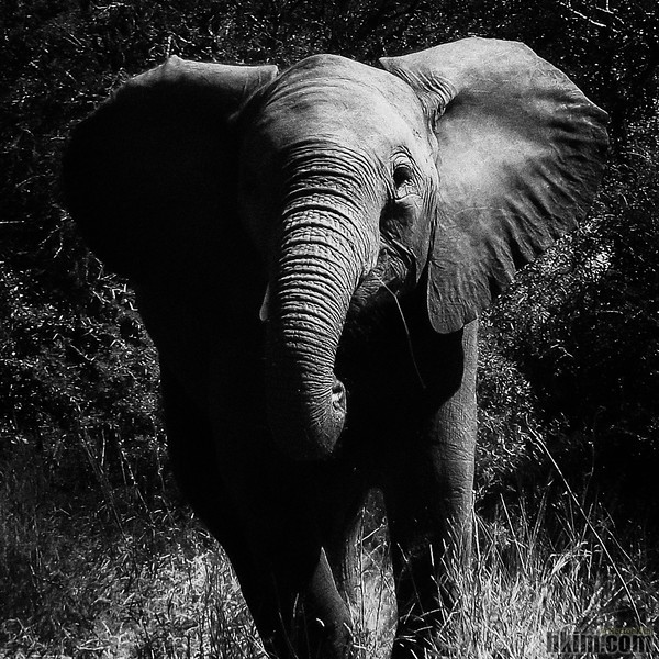 Out of the Forest<br /> Kruger National Park, South Africa