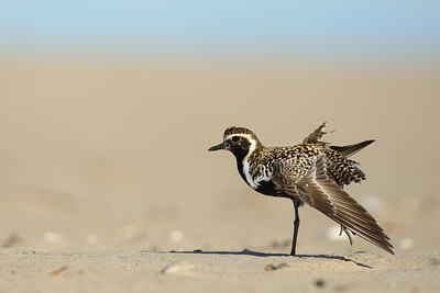 Pacific Golden Plover (Pluvialis fulva) in breeding plumage having a stretch
