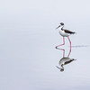 Black-necked Stilt with reflection on glass-like water. On beach at Bolivar North Jetty on overcast day;