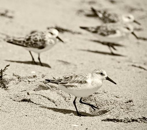 Sanderlings in sepia