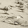 Sanderlings in sepia