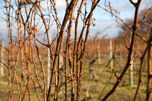 Winter Vineyard 2