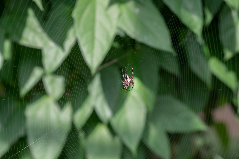 Small garden orb weaver with a magnificent circular web!