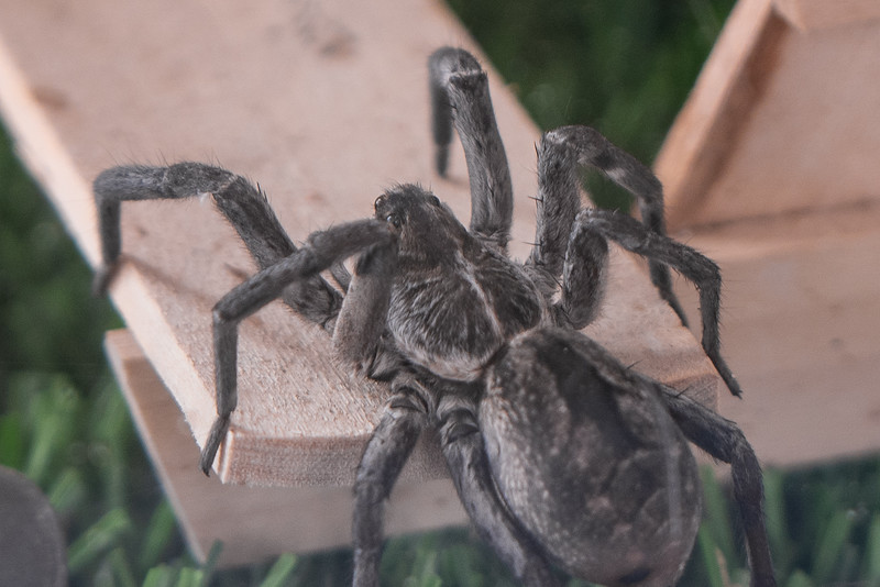 The wolf spider was in a case near the tarantula cases.