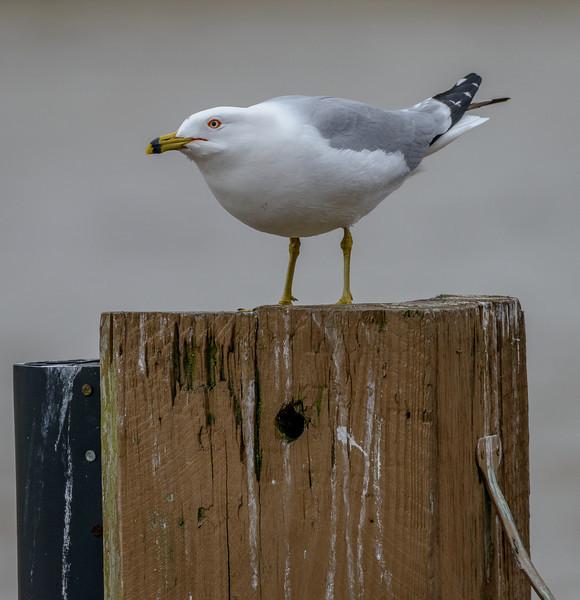 Ring-billed gull - Flats, Cleveland, Ohio