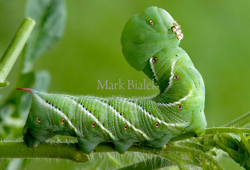 A hornworm sits upright, as if enjoying the view, on a tomato plant after some much needed rain in Whitmore Lake, MI on August 10, 2012.