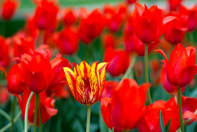 Tulip Red & Yellow