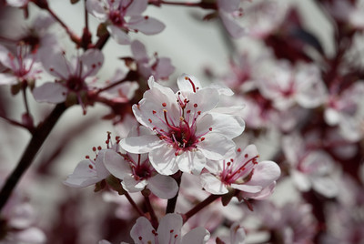 Spring Blossom 5