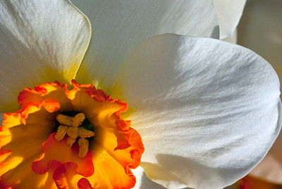 Daffodil White and Orange