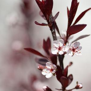 Spring Cherry Flower