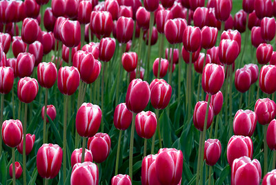 Tulip Red & White