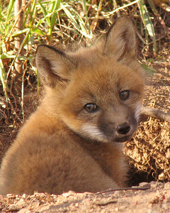 Red Fox Kit 001