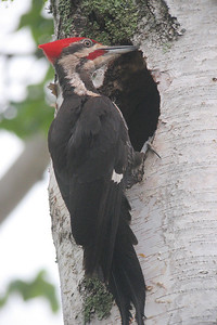 Pileated Woodpecker Nest 005