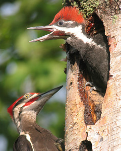 Pileated Woodpecker Nest 010