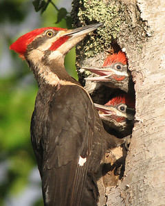 Pileated Woodpecker Nest 006