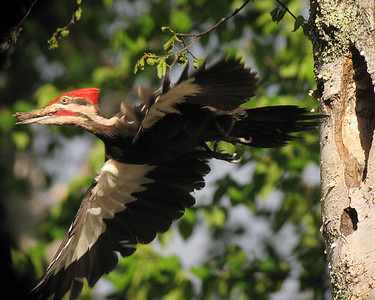 Pileated Woodpecker Nest 004