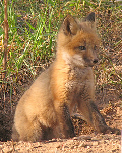 Red Fox Kit 002