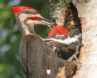 Pileated Woodpecker Nest 008