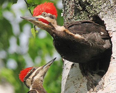 Pileated Woodpecker Nest 002