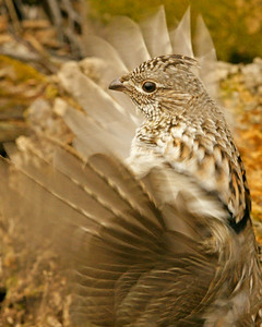 Ruffed Grouse Drumming 001