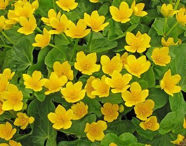 Marsh Marigolds 2