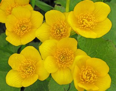 Marsh Marigolds 3