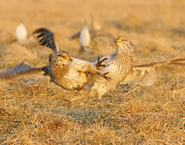 Sharp-tailed Grouse 3